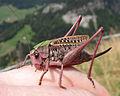 Decticus verrucivorus in French Alps.jpeg
