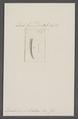 Dentalium sulcatum - - Print - Iconographia Zoologica - Special Collections University of Amsterdam - UBAINV0274 081 10 0036.tif