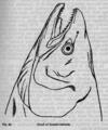 Descent of Man - Burt 1874 - Fig 28.png