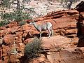 Desert Bighorn Sheep (5015826016).jpg