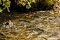 Desove del salmón, Pullen Creek, Skagway, Alaska, Estados Unidos, 2017-08-18, DD 24.jpg