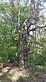 Devil's tree - panoramio.jpg