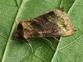 Diachrysia chrysitis - Burnished brass - Металловидка золотая (26236309077).jpg