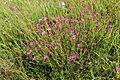 Dianthus deltoides 06.JPG