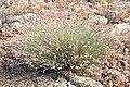 Dianthus lusitanus.jpg