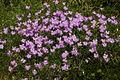 Dianthus sternbergii PID1881-4.jpg