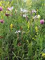 Dianthus superbus Kemi, Finland 15.07.2013.jpg