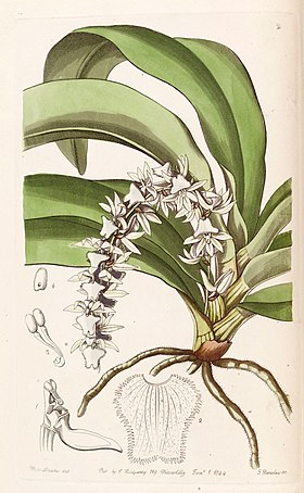 Diaphananthe pellucida (as Angraecum pellucidum) - Edwards vol 30 (NS 7) pl 2 (1844).jpg