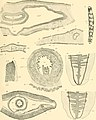 Die pelagischen Nemertinen (monographisch dargestellt) (1917) (20752290069).jpg