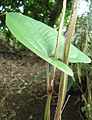 Dioscorea alata - leaf and vine stems - Mindanao, Philippines.jpg