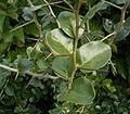 Diospyros dichrophylla 2 ies.jpg