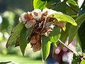 Dipelta floribunda-Jardin des plantes 03.JPG