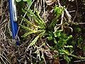 Diphasiastrum alpinum plant (01).jpg