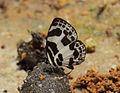 Discolampa ethion – Banded Blue Pierrot 13.JPG