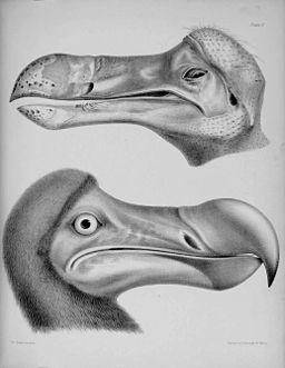 Dodo head (1848)