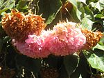 Dombeya wallichii (Huntington Gardens, March 2009).jpg