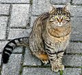 Domestic cat cropped.jpg