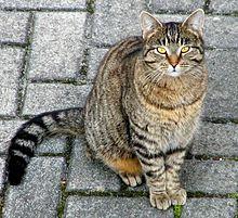 Um gato doméstico