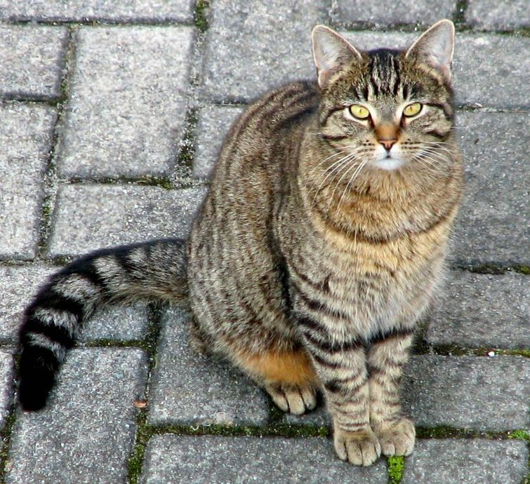 Domestic Cat Scientific Name