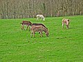 Donkeys at Balmesh - geograph.org.uk - 163890.jpg