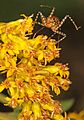 Double Jeopardy of Assassin Bug and Crab Spider - Meadowood Farm SRMA, Mason Neck, Virginia.jpg