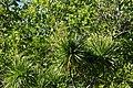 Dracaena multiflora.jpg