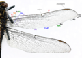 Dragonfly wing structure.png