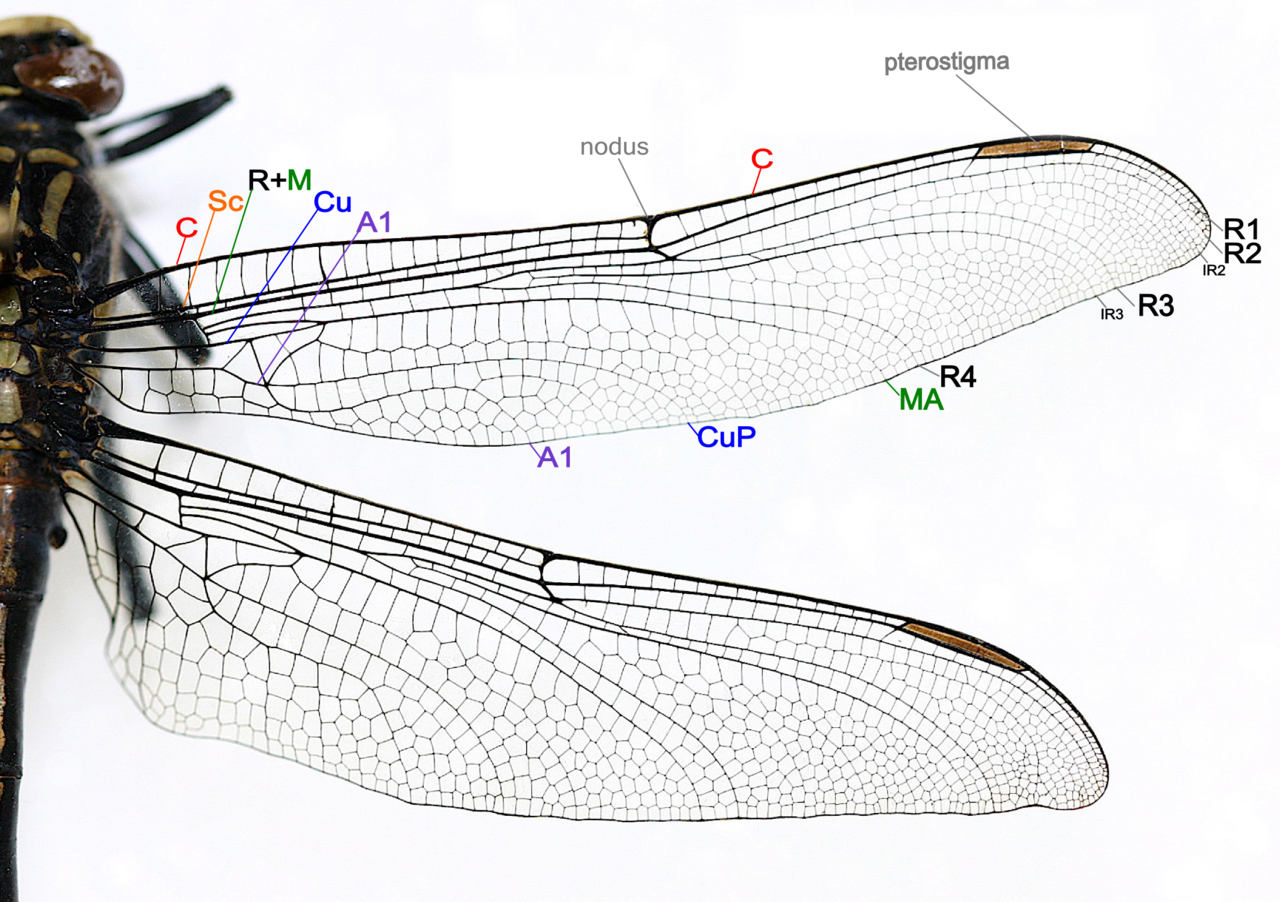 File Dragonfly wing structure on 1549