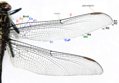 Insect wing - Wikipedia