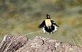 Drakensberg rockjumper 2012 11 10 1380.jpg