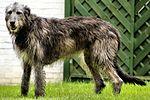 Drew - Irish Wolfhound (21137096806).jpg
