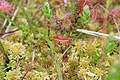Drosera rotundifolia and Sphagnum species.jpg