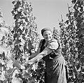 Druivenplukster aan het werk, Bestanddeelnr 254-4157.jpg