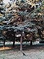 Drveće u parku Svetog Save u Nišu (5).jpg