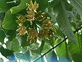Duabanga grandiflora (2114989246).jpg