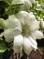Duchess of Edinburgh Clematis4.jpg