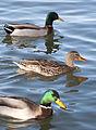 Ducks (8981476243).jpg