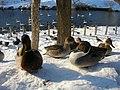 Ducks - panoramio - pakku.jpg
