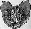 EB1911 Chiroptera Fig. 8.jpg