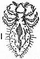 EB1911 Hemiptera - Fig. 14.—Louse (Pediculus vestimenti).jpg