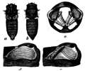 EB1911 cicada tymbal structure.png