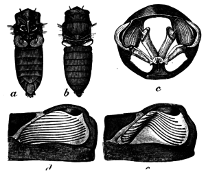 Tymbal - Cicada tymbals: sound-producing organs and musculature. a, Body of male Cicada from below, showing cover-plates of musical organs; b, From above showing tymbals (drums), natural size; c, Section showing muscles which vibrate tymbals (magnified); d, A tymbal at rest; e, Thrown into vibration (as when cicada is singing), more highly magnified.