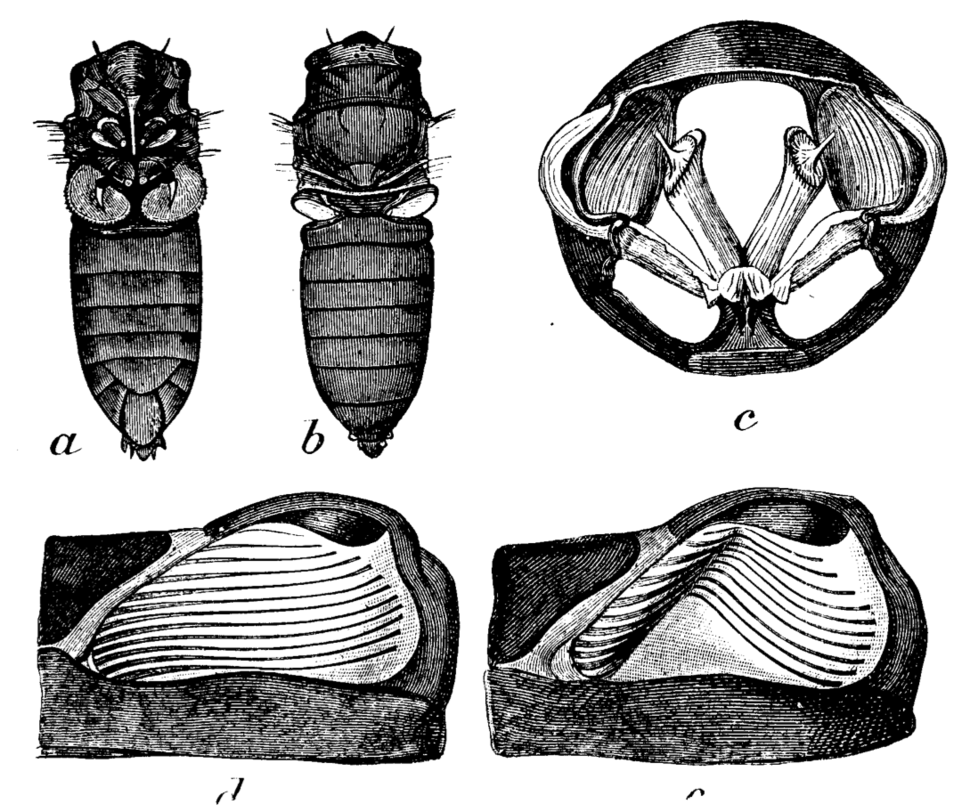 EB1911 cicada tymbal structure