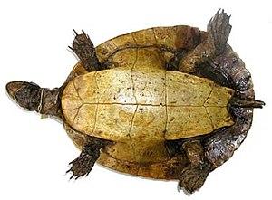 Murray River turtle - Image: E macquarii type 3 380