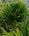 Eastern Cape Giant Cycad (Encephalartos altensteinii) (32943227366).jpg