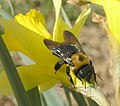 Eastern Carpenter Bee.jpg