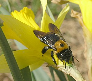Nectarivore - An Eastern carpenter bee (Xylocopa virginica) pierces the corolla to feed from a daffodil (Narcissus sp.)