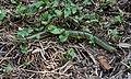 Eastern Glass Lizard (2).jpg