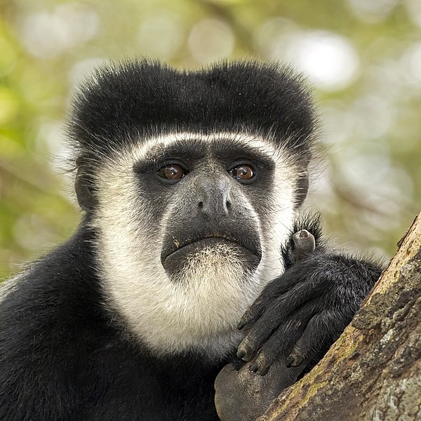 File:Eastern black-and-white colobus (Colobus guereza matschiei) head.jpg