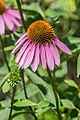 Echinacea purpurea 'Pica Bella' in Jardin des 5 sens (4).jpg